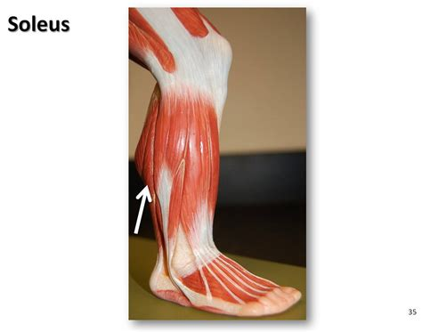Soleus - Muscles of the Lower Extremity Anatomy Visual Atl
