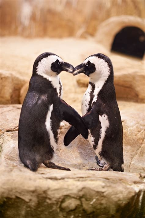 African penguin awareness | Western Cape Government