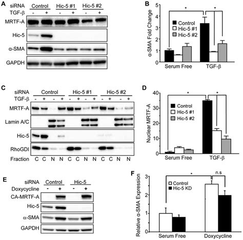 Hic-5 regulates induction of α-SMA in response to TGF-β